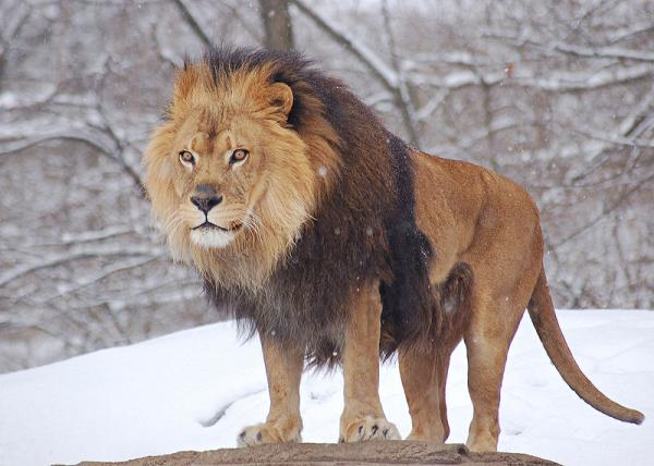 800px_African_Lion_Panthera_leo_Male_Pit
