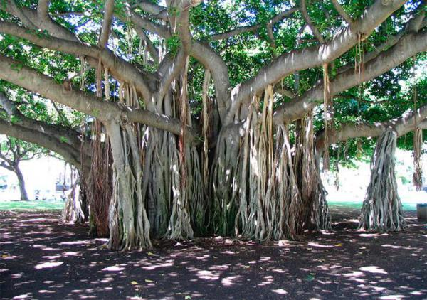 information about trees in india For those of us who would want to simply immerse ourselves in that moment appreciating the beauty of each of these flowering trees that dot india and malaya.